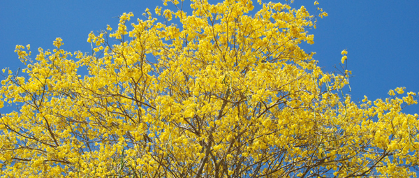yellow leaves treetop
